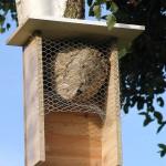 Umsiedlung der Mittleren Wespe