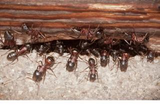 Ameisenbekämpfung im Haus