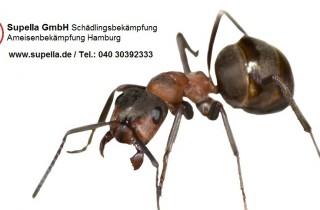 Ameisenbekämpfung in Hamburg