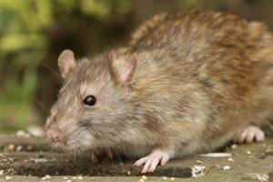 Ratten bekämpfen Kiel / Rattenbekämpfung Kiel